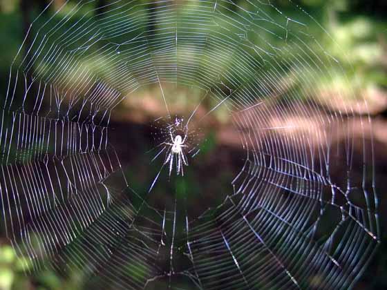 Пауки-целители: паутину будут использовать в медицинских целях