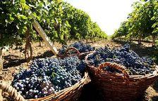 Дагестанцы отправились на сбор урожая винограда