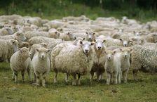 Власти Чечни подарили 3 тыс овец астраханским мусульманам