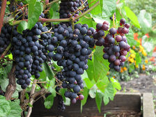 В Крыму потеряна треть урожая винограда