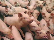 Кубань вырвалась в лидеры по росту производства свинины