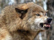 Стая волков напала на ферму в Краснодарском крае