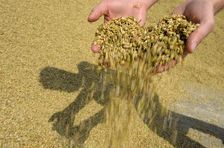Минсельхоз может возобновить экспорт зерна в Турцию