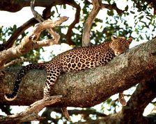 Переднеазиатские леопарды привыкают к Кавказскому заповеднику