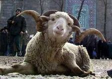 Астраханская область примет 1400 баранов от Рамзана Кадырова