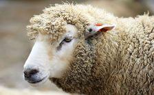 Азербайджан обеспечен скотом для праздничных жертвоприношений